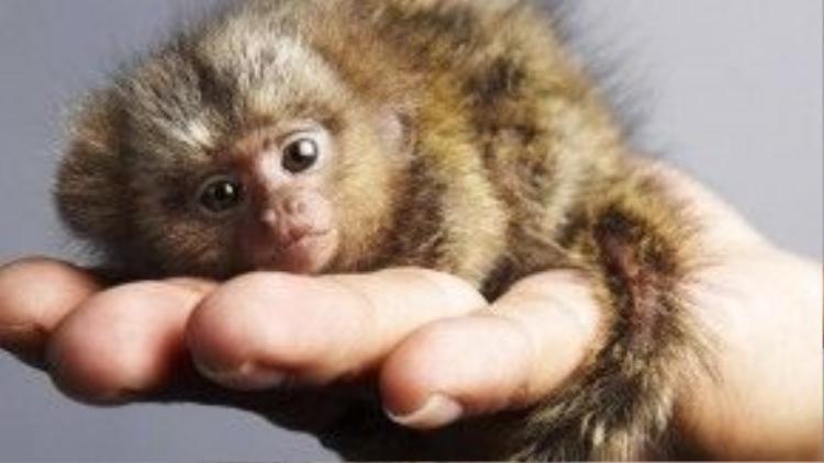 Năm Thân chuẩn bị gõ cửa. Vì thế, sự xuất hiện của chú khỉ nhỏ nhất này đã thu hút được rất nhiều sự chú ý của người dân Hong Kong cũng như các khách du lịch.