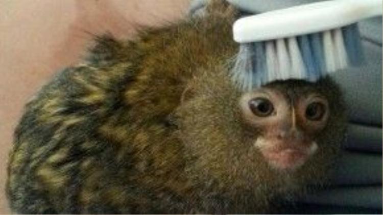 Chú nằm yên để người ta chải lông cho mình. Ngày xưa, người Việt Nam cũng từng rộ lên thú chơi khỉ Marmoset với giá hơn… 200 triệu một chú. Tuy nhiên ngày nay, do sự giảm sút đặc biệt của số lượng khỉ lùn nên chợ thú cưng ở Việt Nam không còn thông tin về Marmoset nữa.