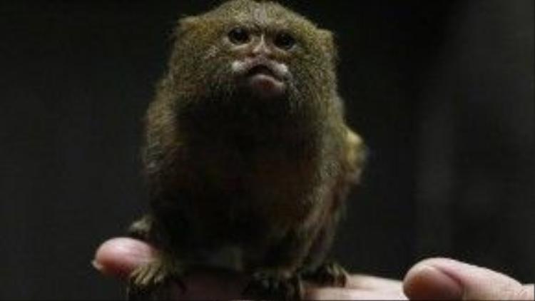 Chiều dài của một chú khỉ trưởng thành chỉ khoảng 16 - 17 cm. Cân nặng ước tính là 170 gram.