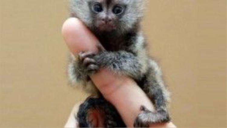 Một chú khỉ còn bé trông rất xinh xắn khi ôm chặt lấy ngón tay của người. Loài khỉ Marmoset này rất thông minh. Các chuyên gia còn tìm được chứng cứ cho thấy chúng có thể giao tiếp được với nhau hàng giờ đồng hồ.