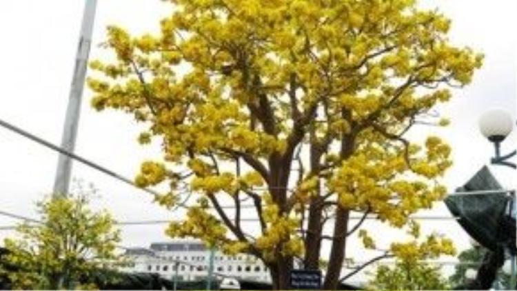 Cội mai 100 năm tuổi nở rực rỡ cả một vùng chợ hoa Xuân.