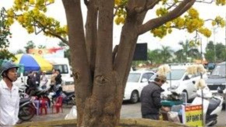 Cội cây to lớn chưa từng thấy.