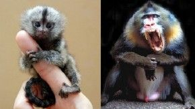 Pygmy Marmoset (bên trái) và Mandrill (bên phải).