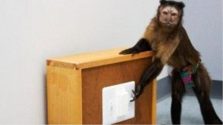 Chú khỉ đang được huấn luyện bật tắt công tắc điện.