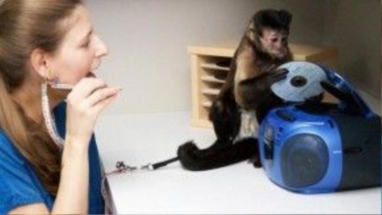 Một chú khỉ đang thực hành đặt chiếc đĩa CD vào máy đọc. Những công việc như thế này tưởng chừng rất đơn giản, nhưng lại tốn khá nhiều thời gian của các chú khỉ để học cho quen.