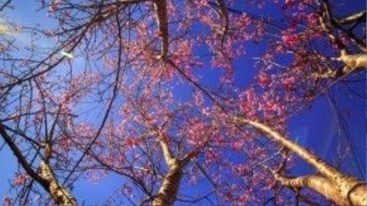 Sở dĩ có tên mai anh đào vì thân cành cây sần sùi giống cây đào, hoa 5 cánh giống cây mai.