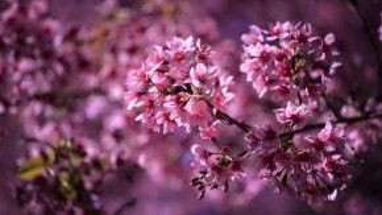 Hoa nở chi chít từ cành đến ngọn, những bông hoa mảnh mai có sức hút kỳ lạ, ngây ngất lòng người.