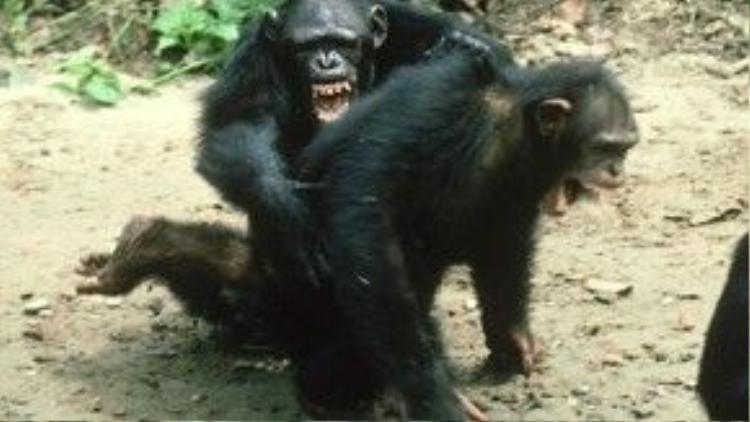 Bà cũng phát hiện ra tinh tinh cũng có những mặt tối như con người vậy. Chúng cũng có thể trở nên khó chịu, hung dữ. Bà từng thấy một con tinh tinh cái giết chết một con cái khác trong bầy để thể hiện quyền lực, rồi bầy tinh tinh quây và quật chết một con khỉ dám tới gần lãnh địa của chúng.