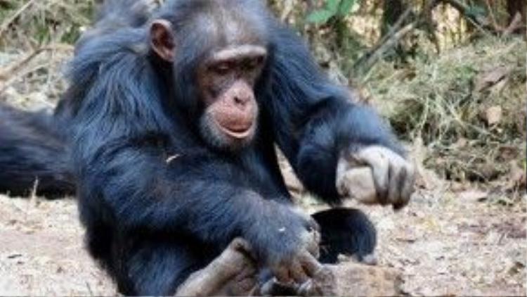 Các nhà khoa học đương thời cho rằng chỉ có con người mới biết sử dụng công cụ trong cuộc sống hàng ngày và rằng tinh tinh là loài ăn cây cỏ, không ăn các loài vật khác. Thì cô gái trẻ Jane khi đó đã chứng minh được điều ngược lại! Tinh tinh cũng biết tạo ra và sử dụng các công cụ để phục vụ cho nhu cầu của chúng.