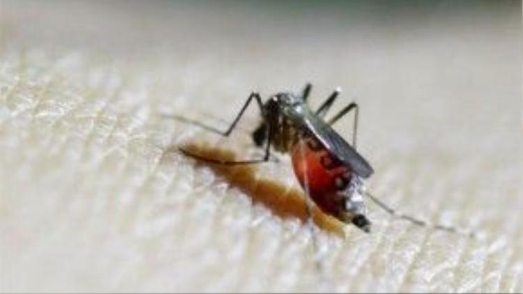 Muỗi Aedes Aegypti là tác nhân gây lây lan virus Zika và đang là mối đe dọa lớn đối với toàn cầu. Ảnh: Reuters