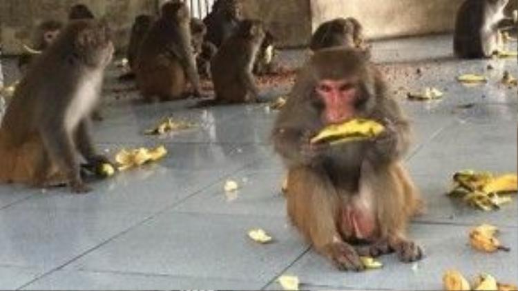 Đàn khỉ vàng đang ăn sáng.
