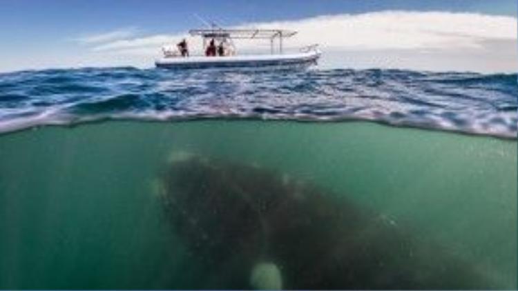 Một chú cá voi bơi ngay dưới thuyền của con người.