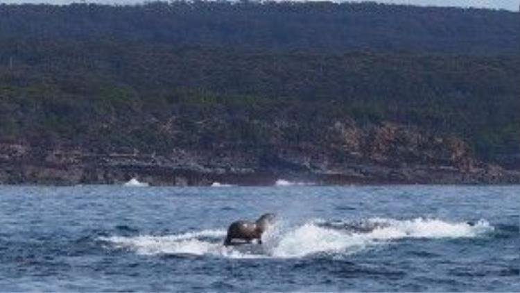 Chú cá voi này trồi lên khỏi mặt nước mà không biết mình vô tình nâng cả một chú hải cẩu từ dưới nước lên.