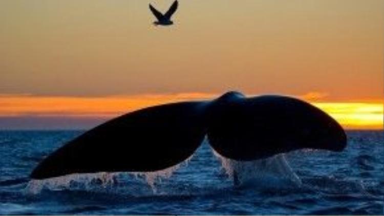 Chiếc đuôi khỏe mạnh và đẹp đẽ của chú cá voi.
