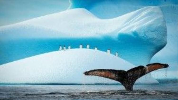 Trong hình là chiếc đuôi một chú cá voi ở Bắc Cực khi chú lặn xuống biển. Khi cá voi lặn sâu xuống đại dương, chúng sẽ phải chịu áp lực rất lớn lên cơ thể.