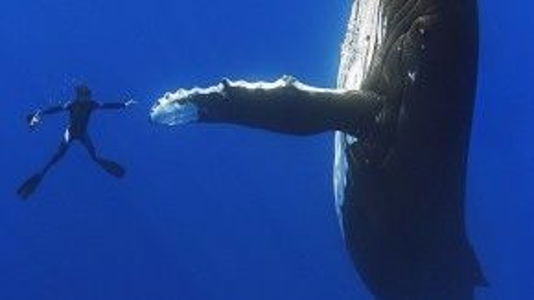 Một thợ lặn như đang chuẩn bị bắt tay với chú cá voi vậy. Khi lặn sâu, cá voi thường không sử dụng mắt nhiều do tầm nhìn của chúng bị hạn chế.