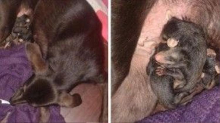 Bốn chú chuột con cuộn tròn nằm ngủ yên bình bên mẹ Pretinha.