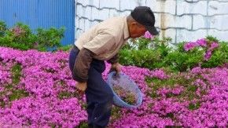 Ông Kuroki chăm chỉ làm vườn.
