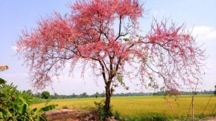 Nếu đang ở Long Xuyên, các bạn có thể chạy theo tỉnh lộ 943, đường vào Núi Sập, đoạn gần ủy ban nhân dân xã Vĩnh Trạch, sẽ thấy cây ô môi đang nở rộ này.