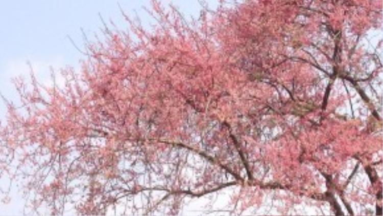 Loài cây này có nguồn gốc từ Nam Mỹ, thường được trồng để lấy bóng mát và tạo cảnh quan vì có hoa đẹp.Có người nhận xét rằng chúng chẳng thua kém gì cảnh trong phim Hàn Quốc hoặc anh đào nơi phố thị cả.