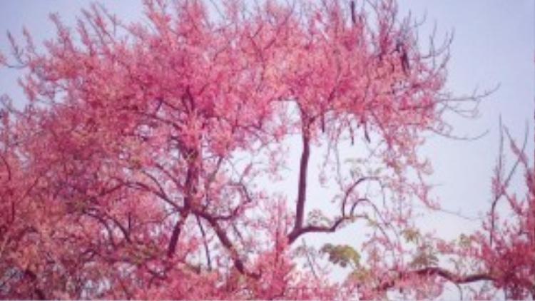 Hoa ô môi thường nở rộ vào khoảng tháng 3, tập trung nhiều ở các vùng quê miền Tây. Ở Long Xuyên còn có địa danh Phà Ô môi, nơi Cố chủ tịch Tôn Đức Thắng thường qua sông đi học. Nhưng tiếc thay ở nơi đó đã không còn loài cây này.