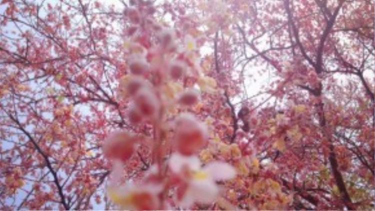 Anh Nguyễn Minh Hiếu, người chụp những bức ảnh trên, có một mong muốn rằng sẽ đưa được cả một xã trồng loài hoa này để tạo thành khu du lịch. Theo anh thì nó sẽ tạo thành một dải hoa rất đẹp, lộng lẫy, và rực rỡ, có khi còn hơn cả anh đào Nhật Bản