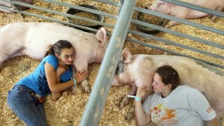 Hai nữ sinh Mỹ ở trường Trung học Nông lâm Westminster đangvuốt venhững chú lợntrước khi chochúng tham gia vào một cuộc thi tại Hội chợ quận Cam ở Costa Mesa, California.