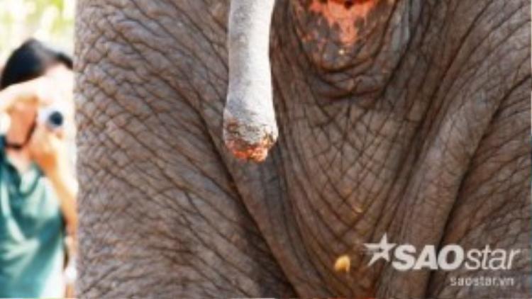 Đuôi của một chú voi bị chặt mất đoạn có nhiều lông vẫn chưa lành, còn trơ xương khi tham gia lễ hội. Trước đó, một vụ án chặt đuôi và nhổ trộm lông đuôi voi đầu tiên ở Đắk Lắk được xét xử năm 2011, cả 4 đối tượng đều bị phạt tù. Tuy nhiên, những thiệt hại mà voi cũng như chủ gánh chịu còn lớn hơn khoản tiền tòa án buộc đối tượng chặt đuôi voi phải bồi thường.