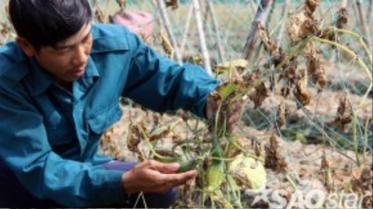 Gần cầu Cổ Chiên, nông dân Nguyễn Văn Bình (38 tuổi, xã Binh Phú, huyện Càng Long, Trà Vinh) mất trắng rẫy dưa leo. Một công (1.000 m2) trồng dưa leo, nếu trúng mùa anh Bình thu được 3 tấn trái, thu nhập 36 triệu đồng. Giờ đây, rẫy dưa chết hết, chỉ có vài trái héo khiến gia đình anh trắng tay.