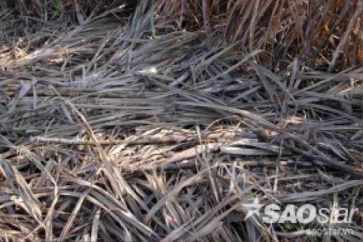 Tại tỉnh Sóc Trăng, nơi có diện tích mía lớn nhất miền Tây là huyện Cù Lao Dung, nông dân cũng đang kêu trời do mía chết cháy vì hạn hạn khi gần thu hoạch. Toàn huyện này có 6.631 ha mía thì 2.352 ha thiệt hại. Trong đó, 213 ha thiệt hại hoàn toàn (trên 70%).