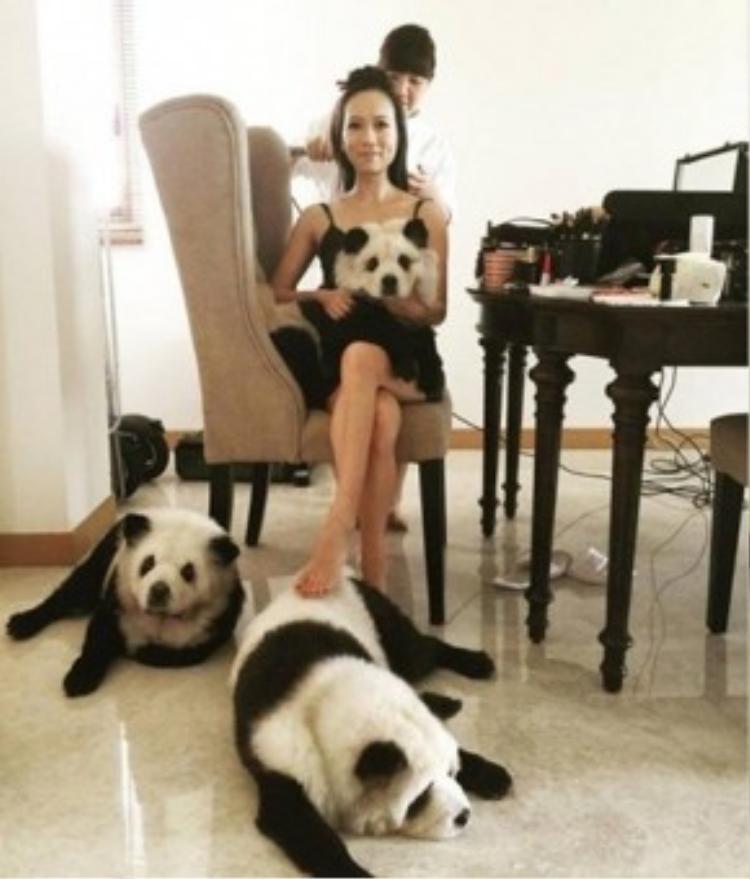 Bà chủ xinh đẹp còn khẳng định, những chú chó gấu trúc của cô luôn được nuôi ở môi trường tốt nhất về nhiệt độ và chế độ dinh dưỡng.