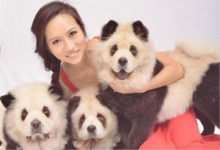 Theo thông tin ban đầu, chủ nhân của những chú chó Chow Chow là một bà chủ xinh đẹp tên Jiang.
