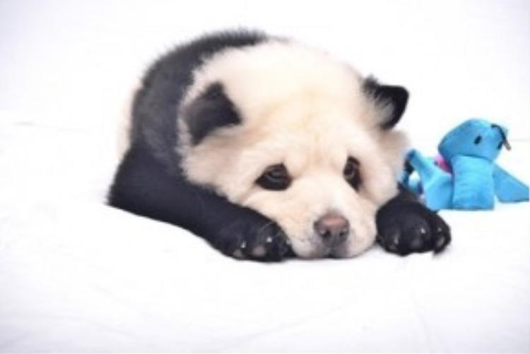 """Chỉ ngay sau đó, chiến dịch quảng cáo của bà chủ Jiang đã hứng chịu không ít """"gạch đá"""" vì hành vi nhuộm lông những chú chó bị kết luận là ngược đãi động vật. Hiệp hội Phòng chống ngược đãi thú vật (SPCA) cho rằng không nên thay đổi diện mạo của con vật một cách không cần thiết và không tự nhiên."""
