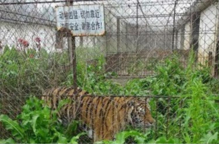 """Một nhân viên vườnthú ở Quý Lâm xác nhận: """"Có rất nhiều hổ, không dễ để chắc chắn rằng tất cả chúng được cho ăn đầy đủ""""."""