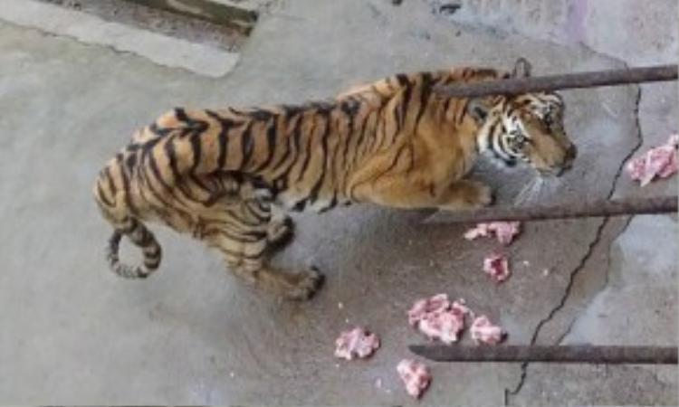 Một con hổ gầy còm với khẩu phần ăn khiêm tốn.