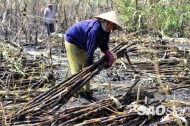 Tại những cánh đồng mía bị cháy thì công việc của lao động làm thuê sẽ vất vả hơn vì hít nhiều tro bụi.