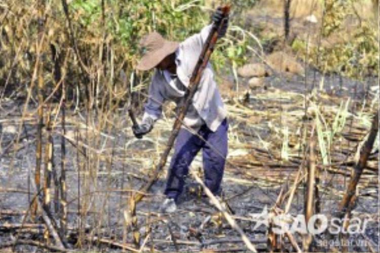 Theo người dân, những cánh đồng mía này có thể do kẻ xấu nào đó đốt phá nhưng may mắn dập được nên chủ vườn phải thu hoạch sớm.