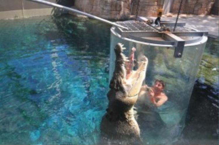 Du khách sẽ được đưa vào trong một lồng kính trong suốt, sau đó hạ xuống bể nuôi cá sấu nước mặn. Đây là một trong những loài săn mồi hung dữ và mạnh nhất thế giới, nhiều con dài tới 5 m. Lồng Tử Thần cho du khách trải nghiệm cảm giác tới sát chúng mà ngoài đời không bao giờ có được. Ảnh: Crocosauruscove.