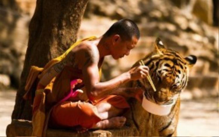 Chơi với hổ, Thái Lan: Tại đền Hổ ở ngoại ô Bangkok, du khách có thể tiếp cận với chúa sơn lâm ở khoảng cách gần. Khu vực này mở cửa đón khách từ năm 1994 và là nơi nuôi dưỡng khoảng 150 con hổ. Ảnh: Imgur.