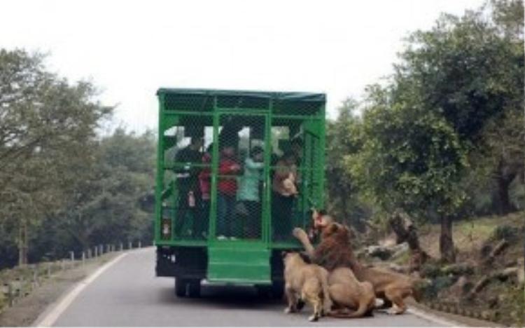 Nơi nhốt người thả thú dữ, Trung Quốc: Tại sở thú Lehe Ledu ở Trùng Khánh (Trung Quốc), du khách trả tiền để được nhốt trong chuồng trên xe tải và đưa vào giữa nơi những con sư tử, hổ được thả rông. Ảnh: Awesomeinventions.