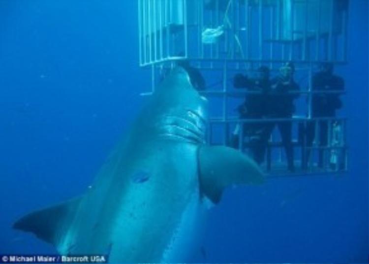 Chạm trán cá mập, Mexico: Cá mập trắng nổi tiếng là loài săn mồi hung dữ. Tuy nhiên, điều đó không ngăn được những du khách ưa thích phiêu lưu tìm cách tiếp cận chúng. Nhiều vùng biển trên thế giới đã cung cấp dịch vụ lặn ngắm cá mập trắng trong lồng sắt cho du khách. Ảnh: Daily Mail.