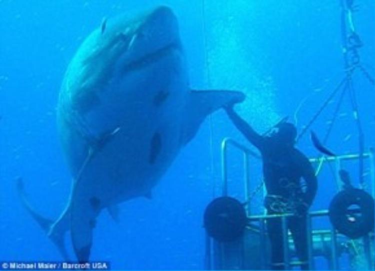 Vào tháng 2, ba người lặn ngoài khơi Mexico trong lồng sắt đã chạm trán với con cá mập trắng được coi là lớn nhất thế giới. Con cá mập được đặt tên là Deep Blue. Ảnh:Daily Mail.