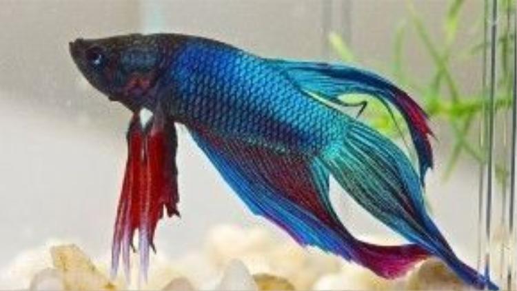 Còn gì thú vị bằng sở hữu tông màu tóc hệt như vảy của loài cá được mệnh danh là hiếu chiến nhất thế giới này.