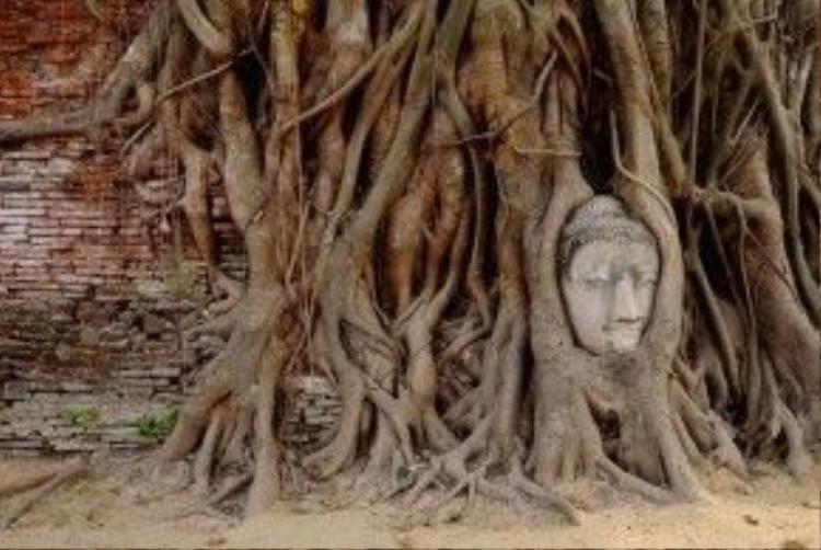 Du khách tới đây ấn tượng nhất bởi đầu tượng được ôm trọn trong rễ cây. Theo lý thuyết, trải qua rất nhiều năm tháng, đầu tượng Phật đáng lẽ ra đã bị rễ cây nghiền nát, nhưng vì một lý do nào đó mà đầu Phật không những không có tổn hại mà còn trở thành một bộ phận sống của cây. Ảnh: Estherwarren.