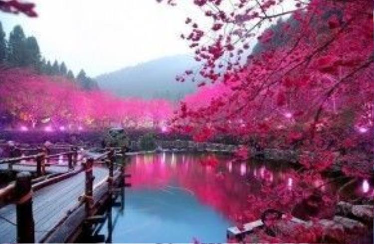 Nhật Bản đang vào mùa hoa anh đào. Theo các công ty du lịch, lượng du khách đến đây trong thời gian này tăng đột biến so với cùng kỳ năm ngoái. Các thành phố được du khách lựa chọn nhiều nhất là Tokyo và Kyoto. Ngoài ra, các hãng lữ hành cũng giới thiệu nhiều điểm đến mới. Đáng chú ý nhất là tuyến tour đến đảo Kyushu, miền Nam nước Nhật. Ảnh: Sakuraspins.