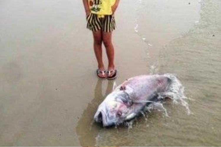 Một con cá vẩu trọng lượng lên đến 35 kg chết dạt vào bờ biển xã Lộc Vĩnh vào ngày 18/4.