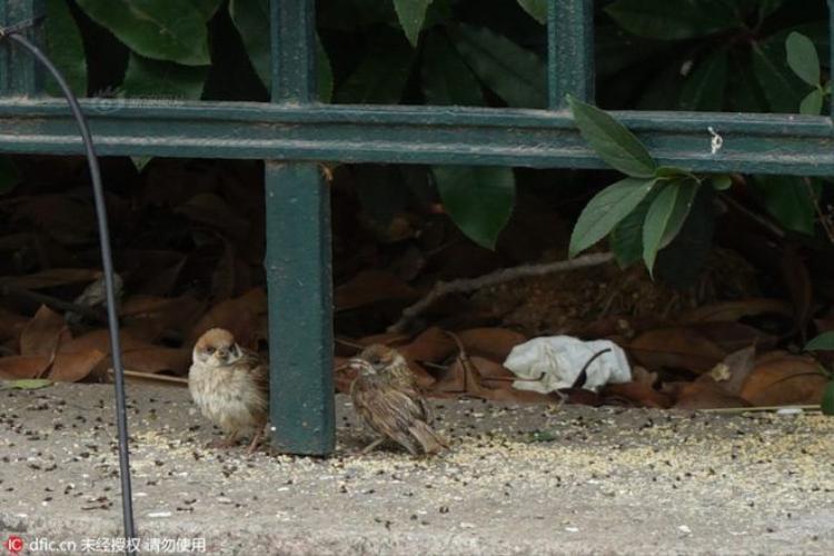 Cảnh phóng sinh chim sẻ đáng sợ hơn cả sát sinh
