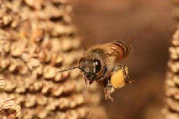 Loài ong bắp cày CAPE có thể thực hiện sinh sản không cần con đực.