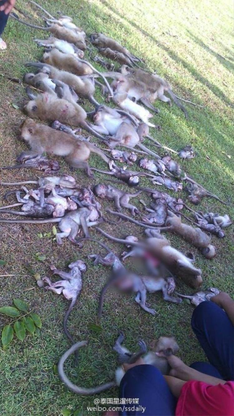 Cây cổ thụ bật rễ, 52 con khỉ chết lăn lóc dưới mặt đất