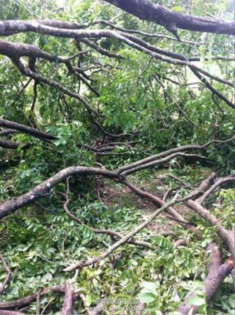 Hình ảnh cây cổ thụ đổ rạp vì bị bật rễ.